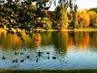 Rațe pe lac