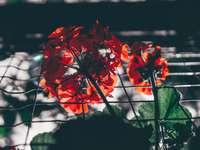 rode bloem in tilt-shift lens