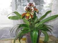 orquídea sobotek