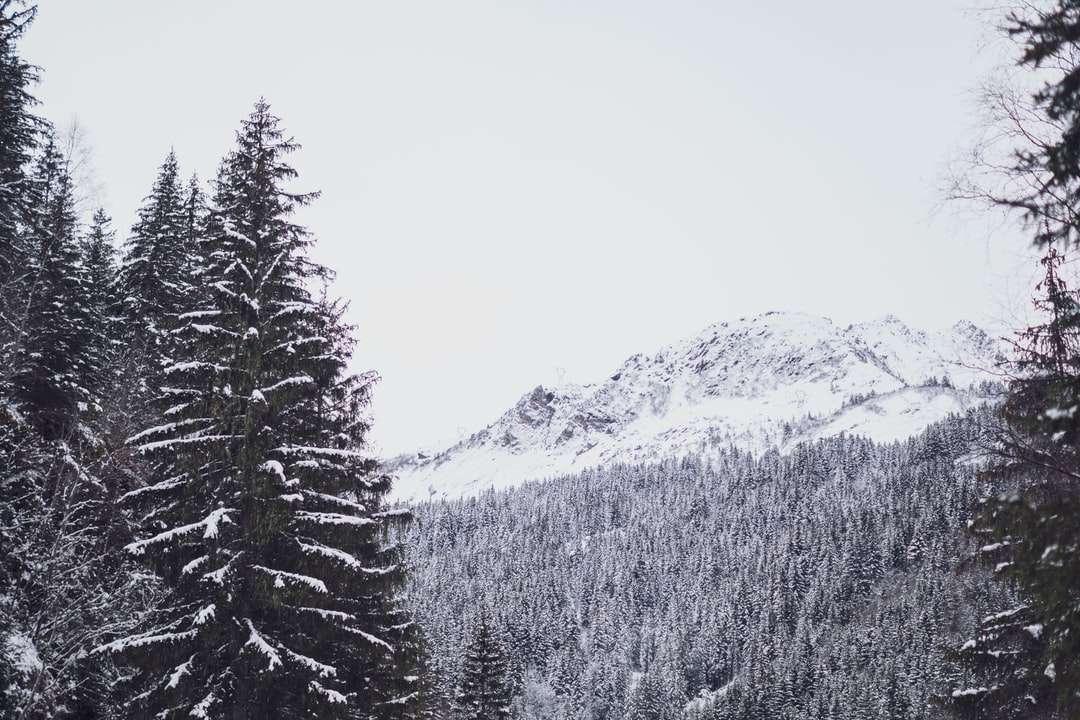hóval borított fenyőfák és hegyek