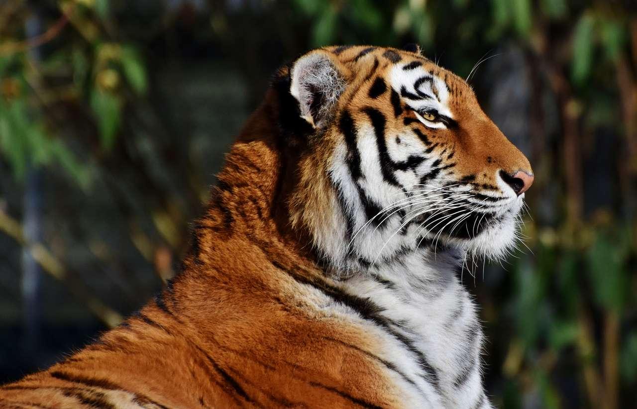 tigre nella foresta - tigre arancione nella foresta (15×10)