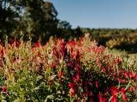 czerwone kwiaty pod błękitnym niebem w ciągu dnia