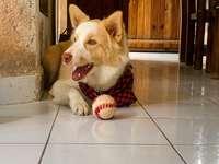 brązowy i biały pies krótkowłosy