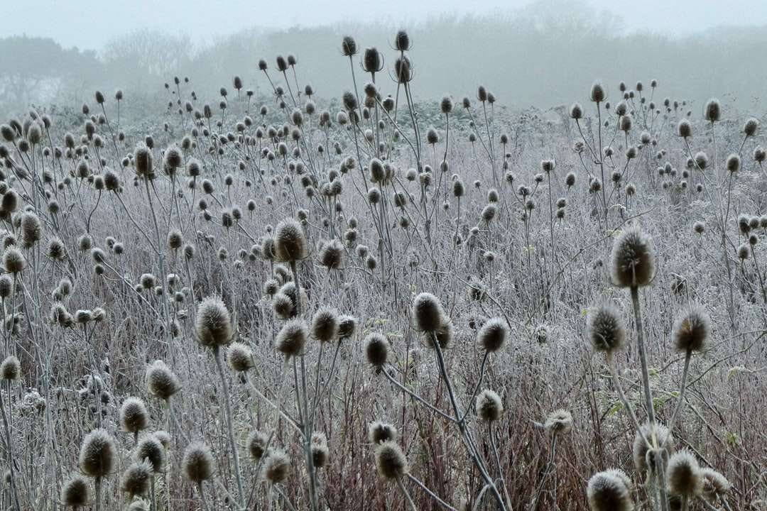 white dandelion field during daytime - Teasels on a cold and icy morning in January standing tall and ridged. . Iford, Bournemouth, UK (15×10)