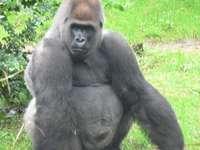 Gorila de câmpie