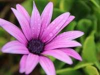 lila Blume im Makroschuss