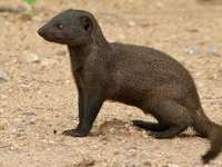 Společný trpasličí mongoose