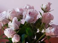 roses roses en gros plan