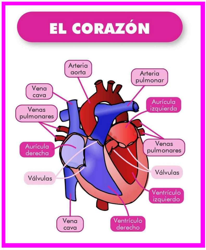 Het hart en zijn onderdelen - Maak deze geweldige puzzel over het hart en zijn onderdelen (6×8)