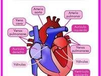 Le cœur et ses parties