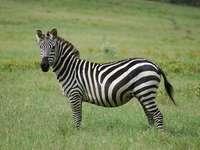 Zebra de stepă
