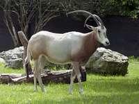 Sable oryx