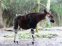 Okapi del bosque