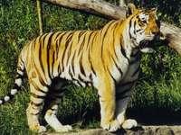 Asijský tygr