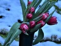 rote Tulpen auf schwarzem Metallzaun