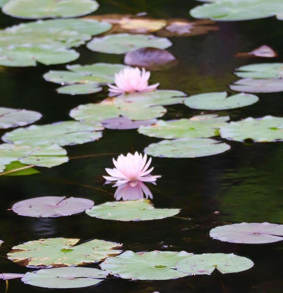 flor de lótus roxa na água - 2 nenúfares em uma lagoa (18×19)