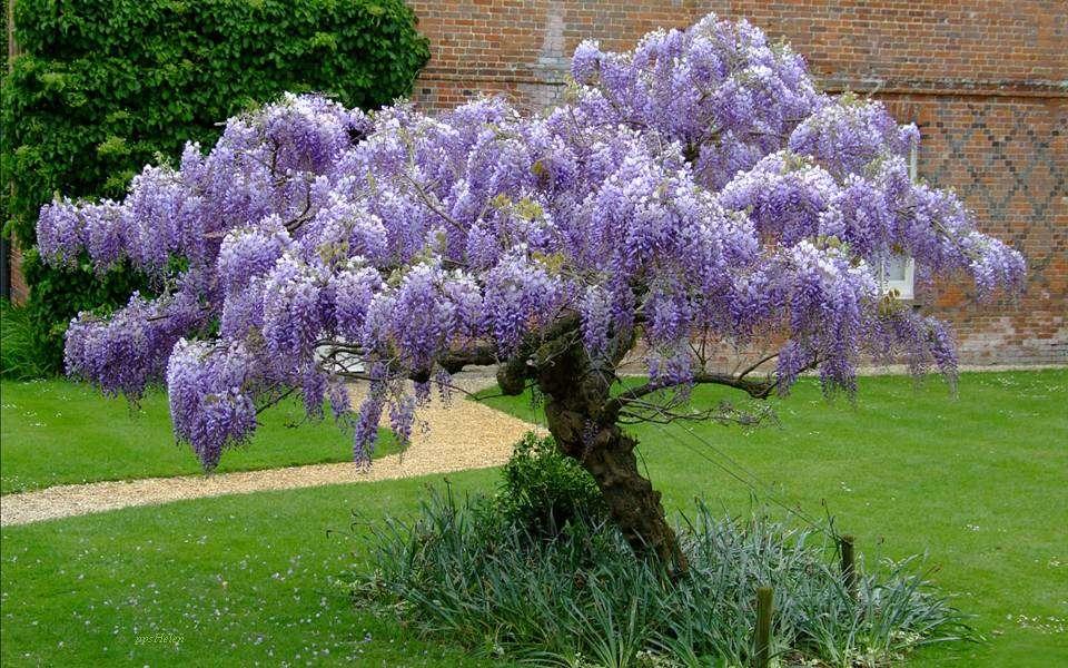Wisteria frumoasă - Wisteria înflorită într-o grădină (12×8)