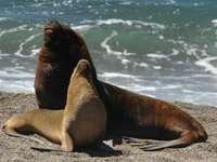Leão-marinho sul-americano