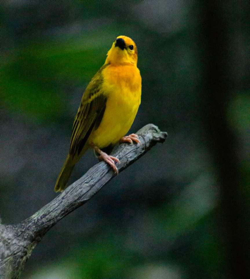 gele en groene vogel op bruine boomtak