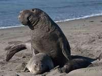 Северен тюлен на слон