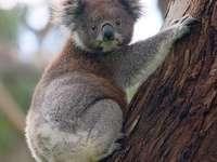 Koala........