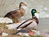 Зелена патица ........