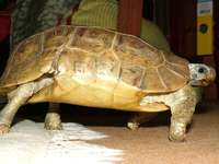 Bell's scharnierende schildpad
