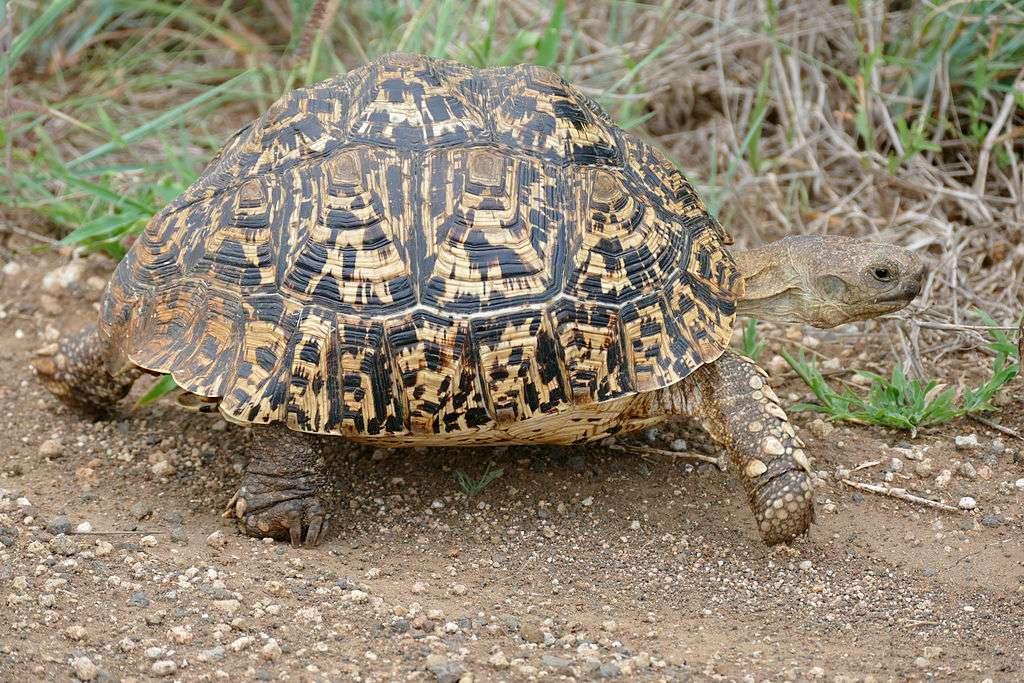 Leopard schildpad - De luipaardschildpad (Stigmochelys pardalis) is een grote en aantrekkelijk gemarkeerde schildpad die voorkomt in de savannes van oostelijk en zuidelijk Afrika, van Soedan tot de zuidelijke Kaap. Het i (4×3)