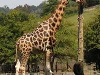 Żyrafa ugandyjska