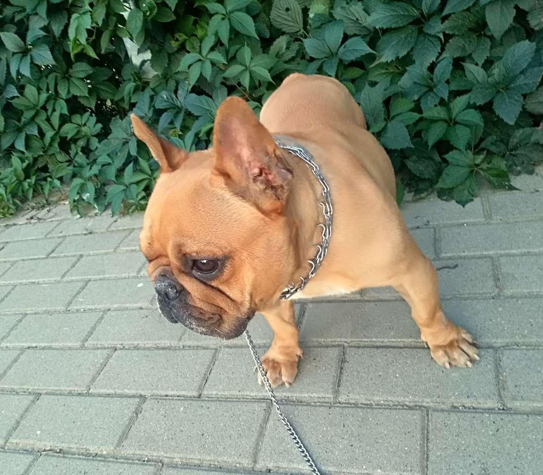 Bulldog francês - Bulldog Francês - meu cachorrinho (14×13)