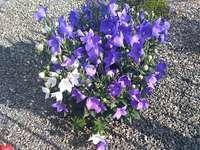 Schöne lila Glocken