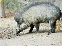 Visayan digno de un cerdo