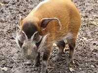 Cerdo de río rojo