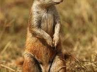Esquilo terrestre do cabo