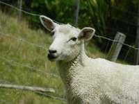 ovelha branca em campo de grama verde durante o dia