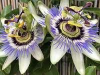 exotische Blumen - Passionsblume