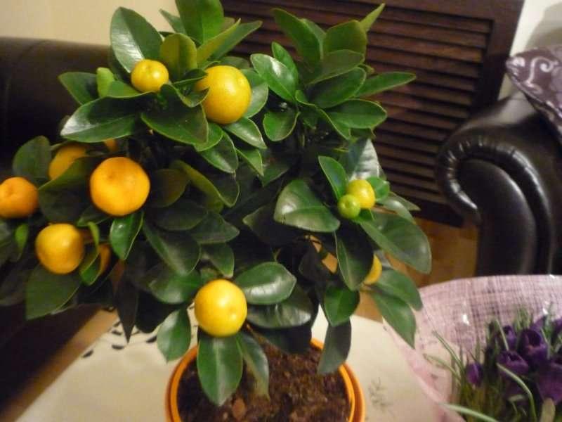 gyümölcsöt cserépben