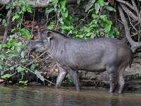 Tapir......