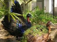 Congo pauw