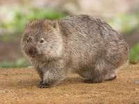 Wombat commun