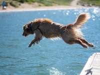 golden retriever die overdag op water loopt
