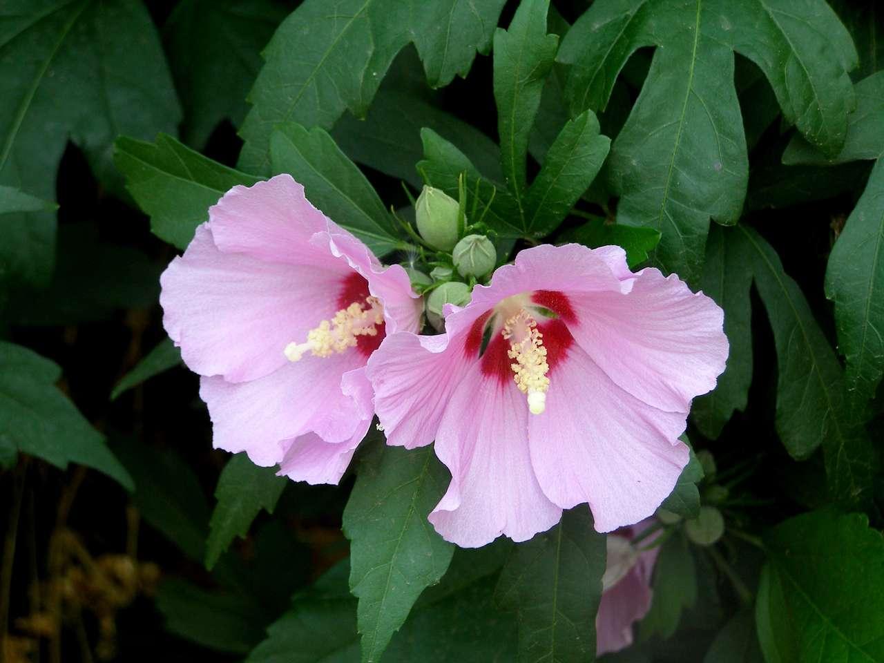 Linda malva - Flor de malva com centro rosa (12×9)