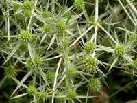 Grüner Distelbusch