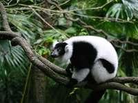 Lemuren ........