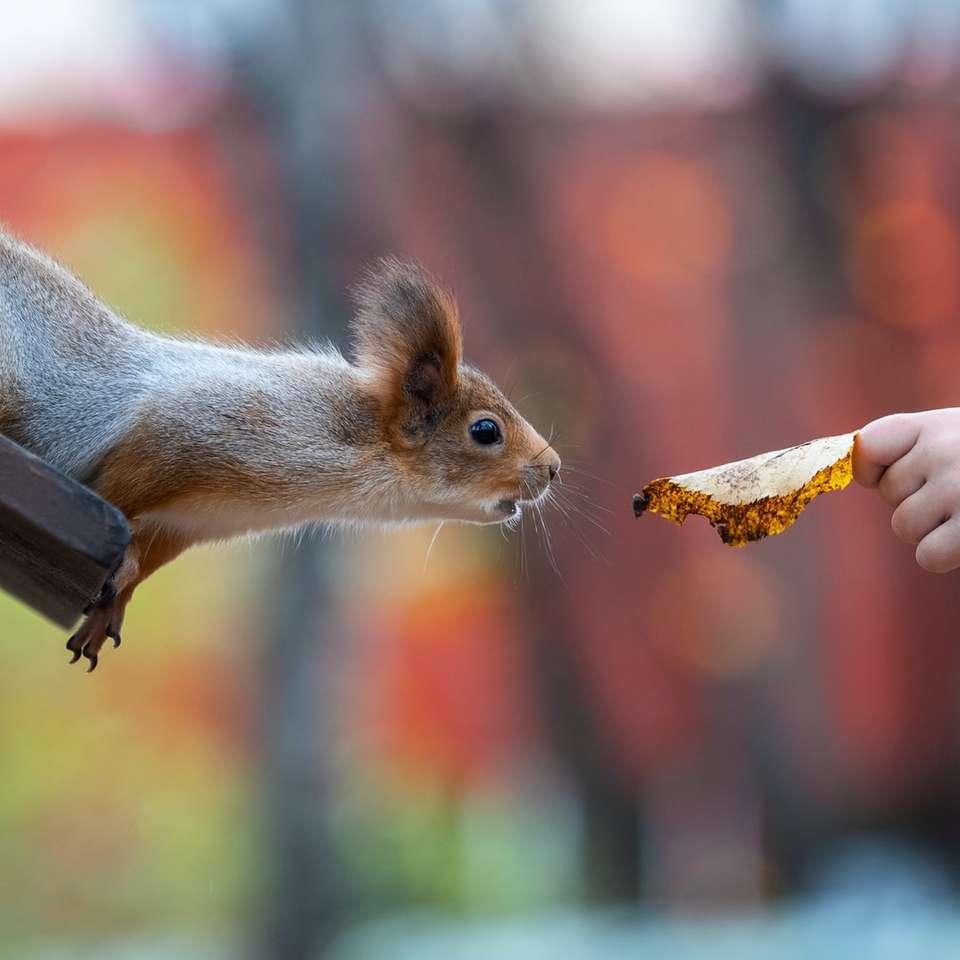 braunes Eichhörnchen, das tagsüber Mais isst - улица Полины Осипенко, 16с1, Москва, Россия (18×18)