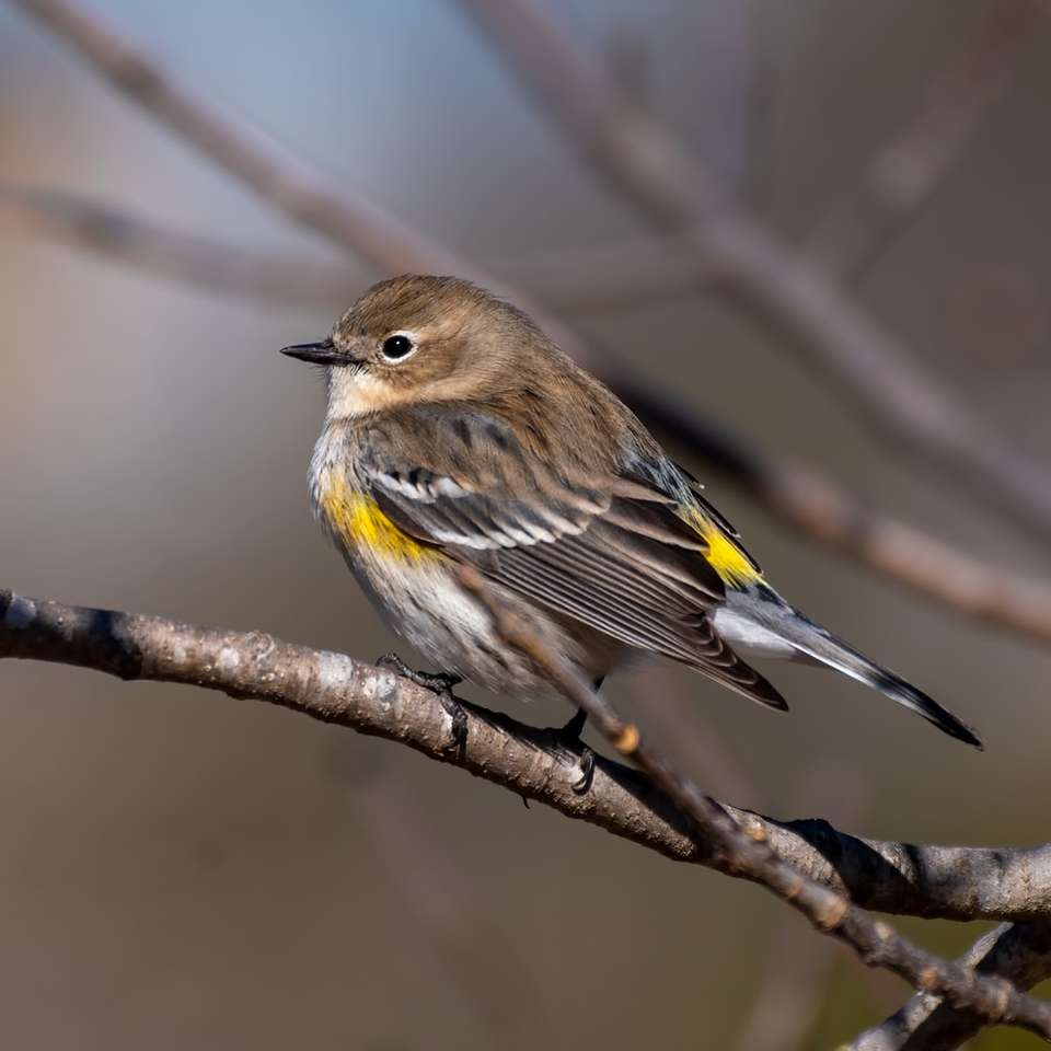 barna és sárga madár barna fa ága - Sárgafarkú warbler (9×9)