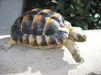 Kleinmann's schildpad