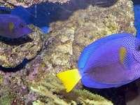 Blauer Segelflossendoktor