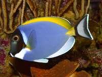 Weißkehl-Doktorfisch