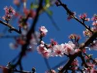 fiore di ciliegio rosa e bianco